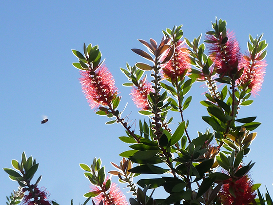 bottlebrush-tree