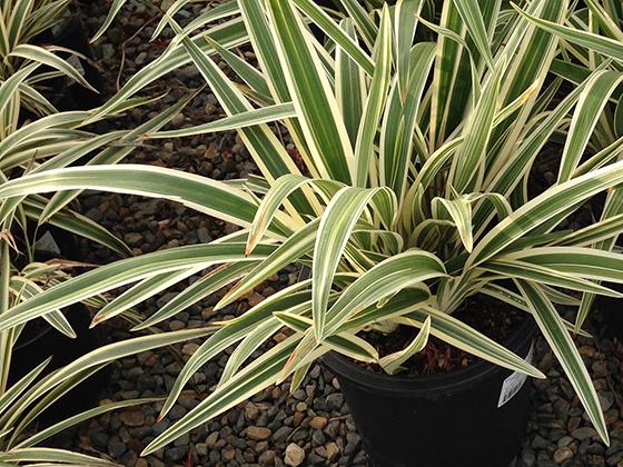 spiky-flax