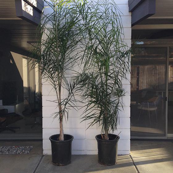 queen-palms
