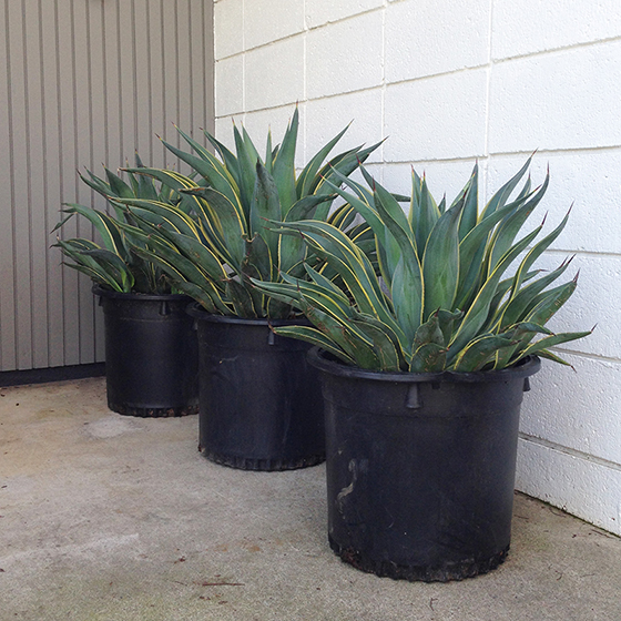 wall-agave-potted