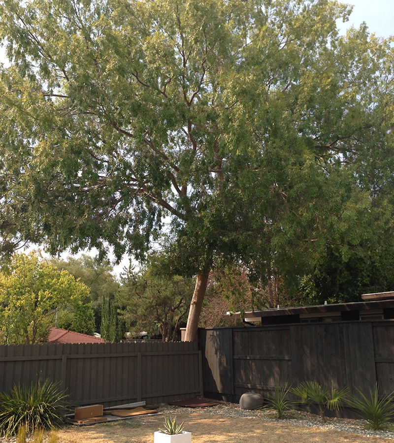 big-tree-before-patio